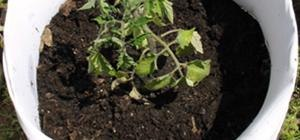 make your own tomato planter