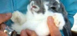 Cutor trim a rabbit or bunny's toenails