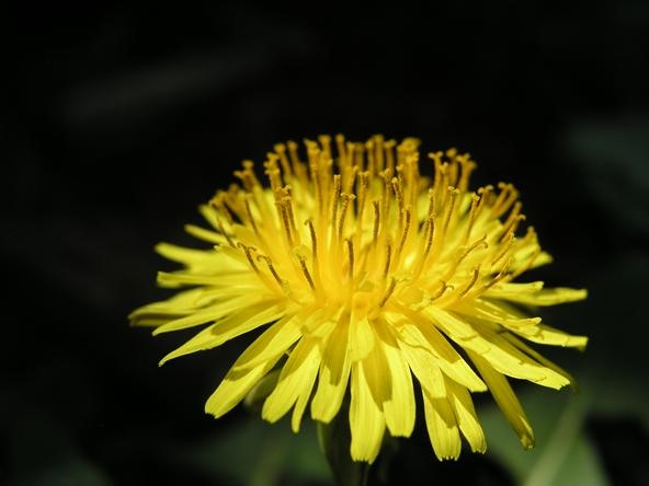 Extreme Close-up Photo Challenge: Simple Dandelion