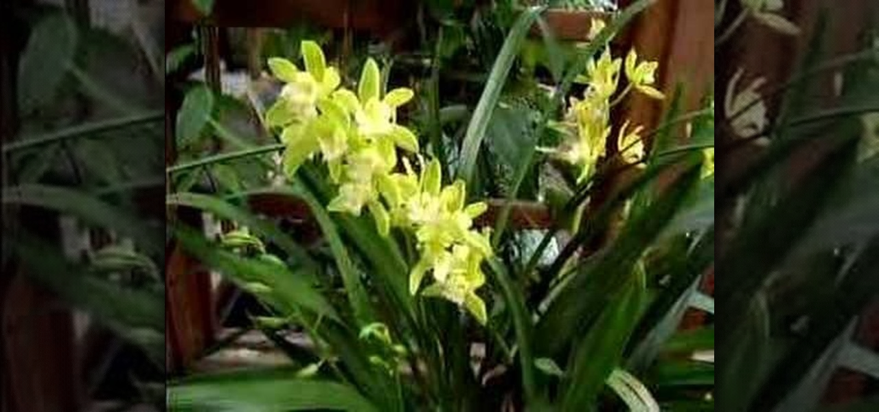 How To Care For A Cymbidium Orchid Gardening Wonderhowto