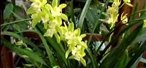 How to Care for a Cymbidium Orchid