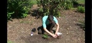 Plant a hardy mum