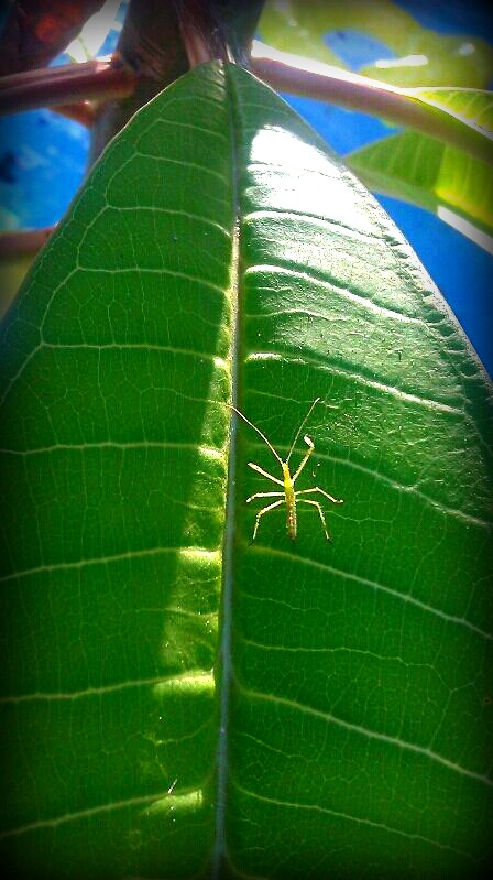 Insect Photography Challenge: Juvenile Walking Stick and Possible Regal Moth?
