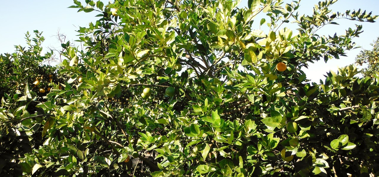 A Bacteria Could Stop Citrus Greening Disease from Killing Orange Trees