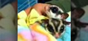 Care for a sugar glider