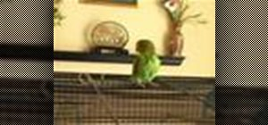 Care for parakeets