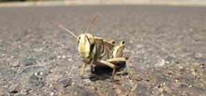 Israeli Grasshopper at Moshav Amirim