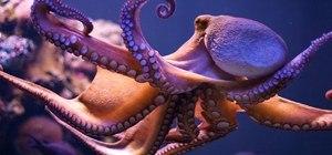 Octopuses vs. Octopi vs. Octopodes