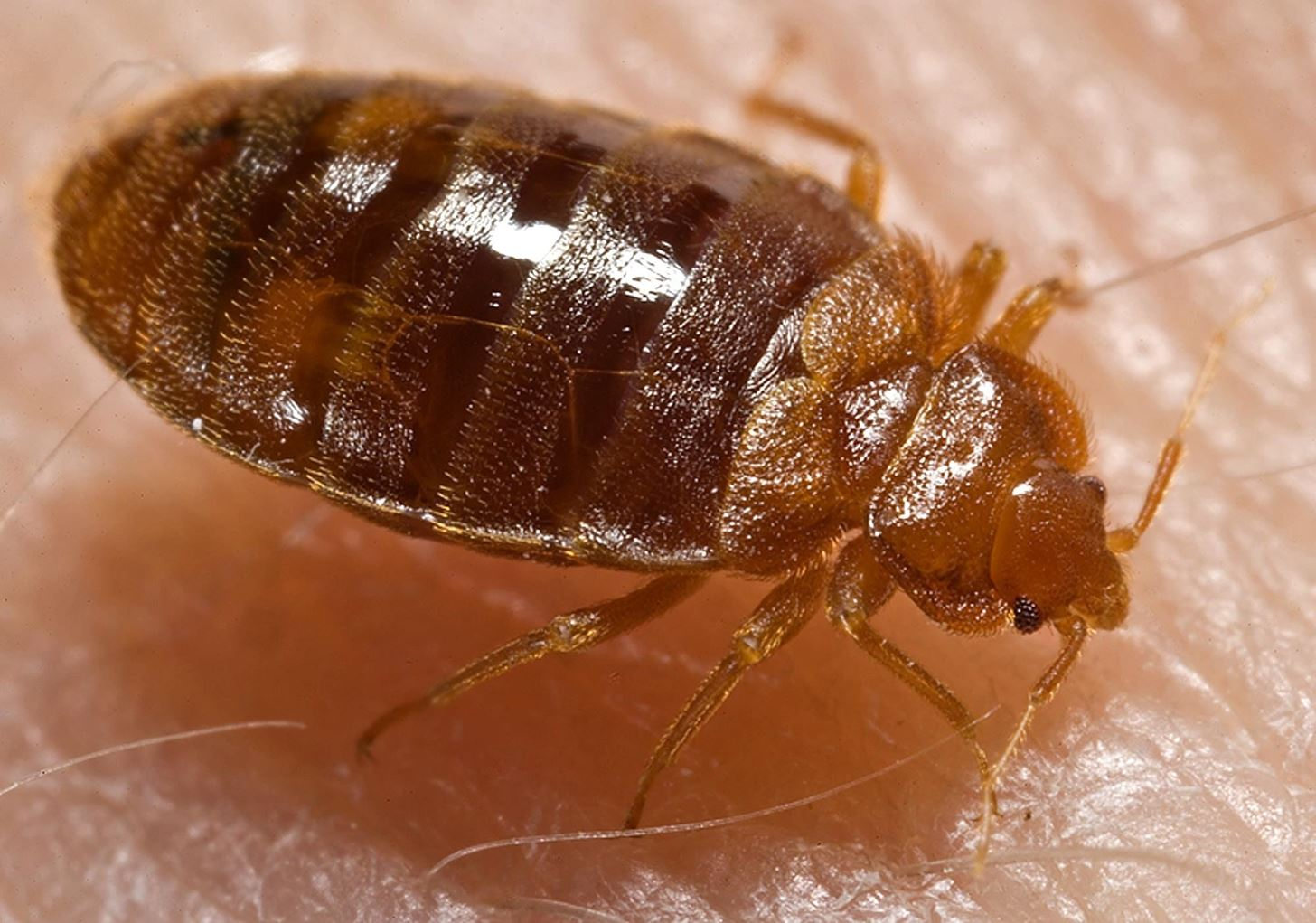 How to Get Rid of Bed Bugs Using Less Pesticide