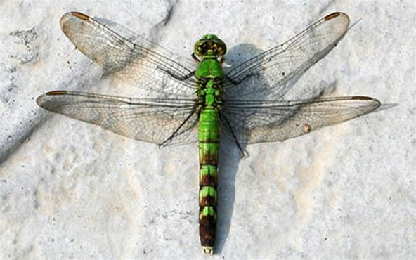 Dragon Safari: The Incredible Metamorphosis from Nymph to Dragonfly