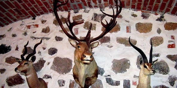 How to Cut Deer Antlers, Clean Bear Skulls & Cape Elk Skins: The Art of Taxidermy