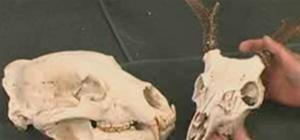 clean skulls
