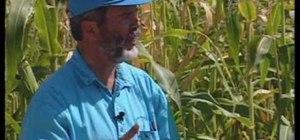 Grow blue corn