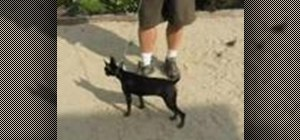 Care for a Miniature Pinscher dog