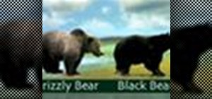 Tell grizzly bears apart from black bears