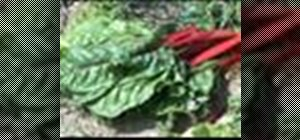 Harvest swiss chard