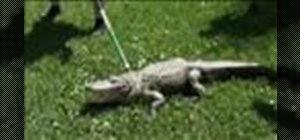 Survive an alligator attack