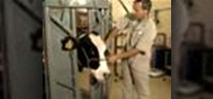 Restrain a cow for surgical or farming purposes