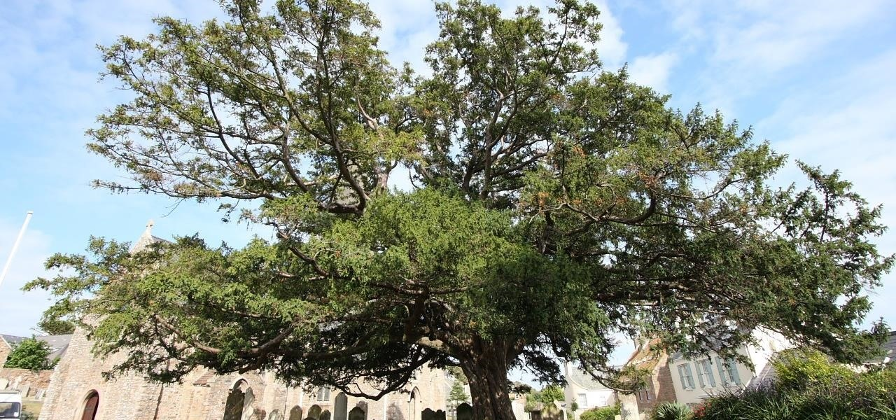 Bacteria Turned into Factories, Supplying Critical Enzymes to Make Cancer Drugs Cheaper & Save Endangered Yew Trees