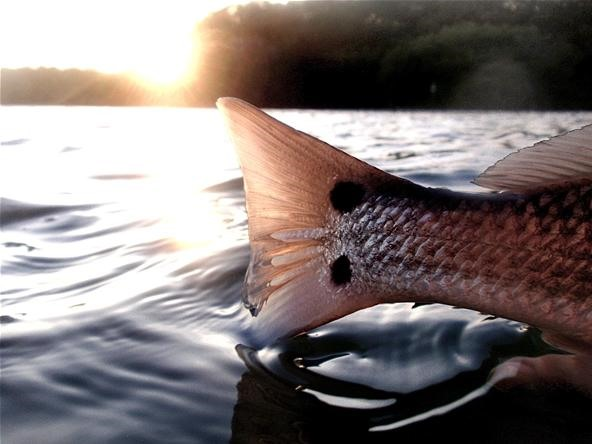 Redfish Tail