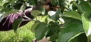 Prune fruit trees in the summer