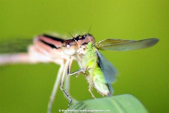 Insect Photography Challenge: It's a Bug Eat Bug World
