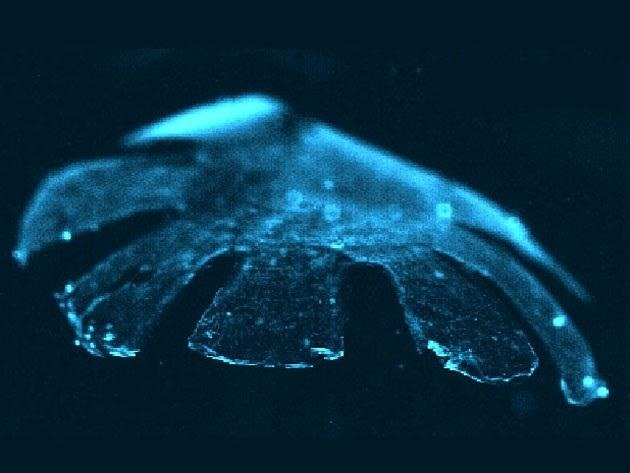 A New Breed of Invertebrate: Half-Rat, Half-Silicone Cyborg Jellyfish