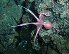 plural of octopus oxford dictionary