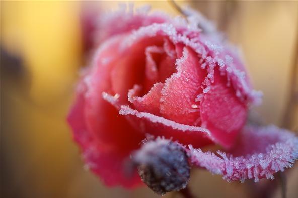 Extreme Close-up Photo Challenge: Frozen Rose