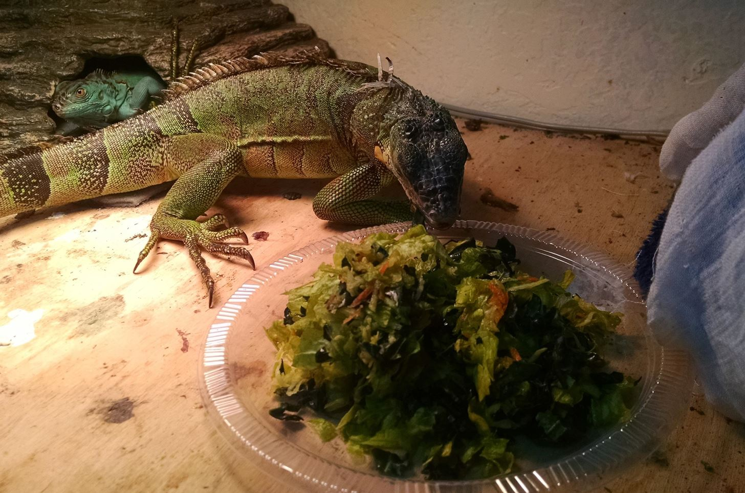 Feed Your Green Iguana