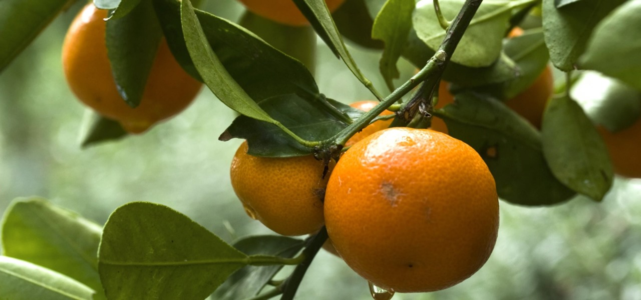 How a Vaccine Could Protect Florida's Orange Trees