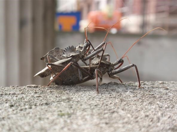 Insect Photography Challenge: 2 Male Wheelbugs in a Standoff Over a Female
