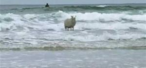 sheep surfing/surfing sheep