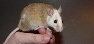 The Soft Fur Rat