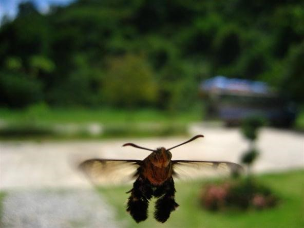 Insect Photography Challenge: A Moth Pretending to Be a Bee in Thailand