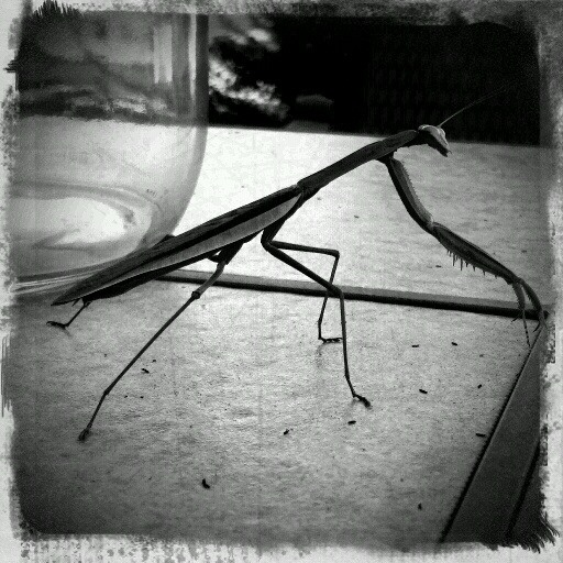 Camera Phone Photo Challenge: Praying Mantis