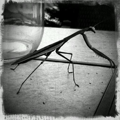 Camera Phone Photo Challenge: Praying Mantis