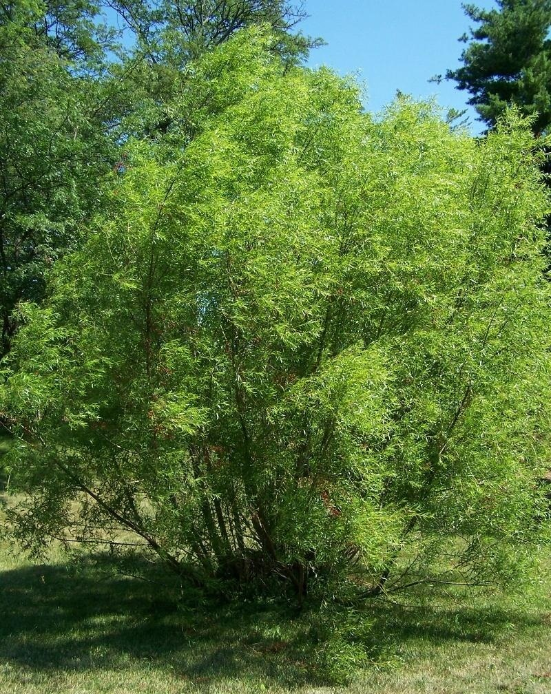 How to Make Aspirin from a Willow Tree