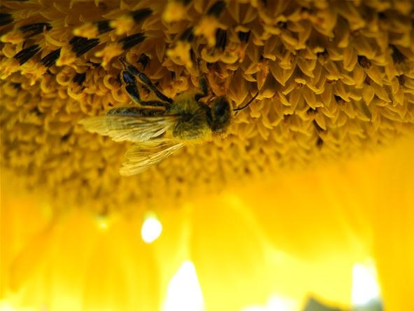 Insect Photography Challenge: Honey Bee on Sunflower