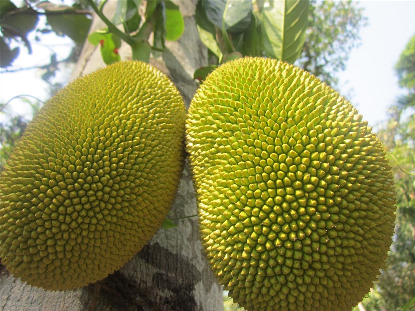How to Cut a Jack Fruit
