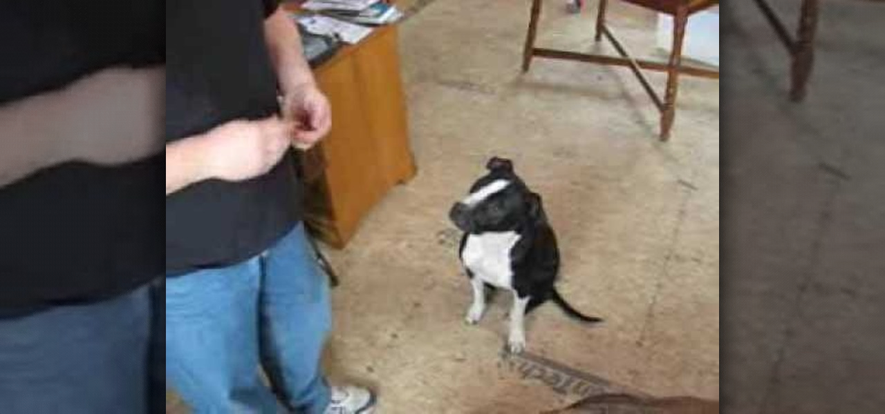 Clicker Training For Harness Shy Dog