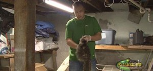 Flesh a raccoon