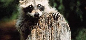 Raccoon Renegade