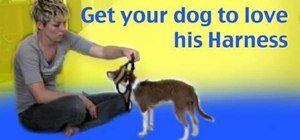 Train your dog to love his harness with clicker training