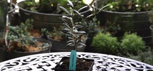 Grow an olive tree in a container