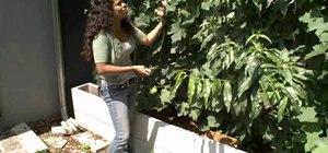 Make stuffed grape leaves