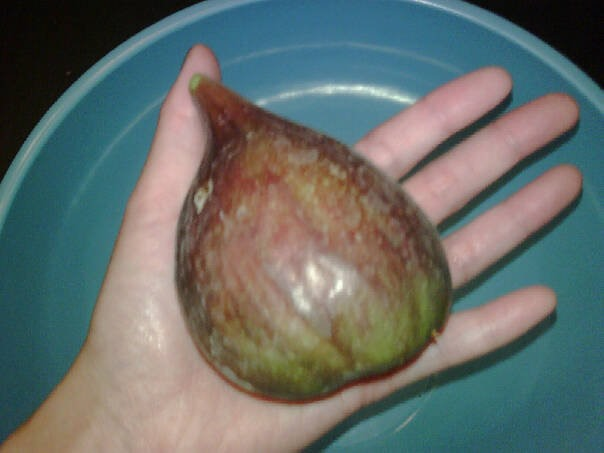 fig from my tree