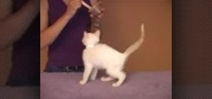 Train your kittens tricks very easily