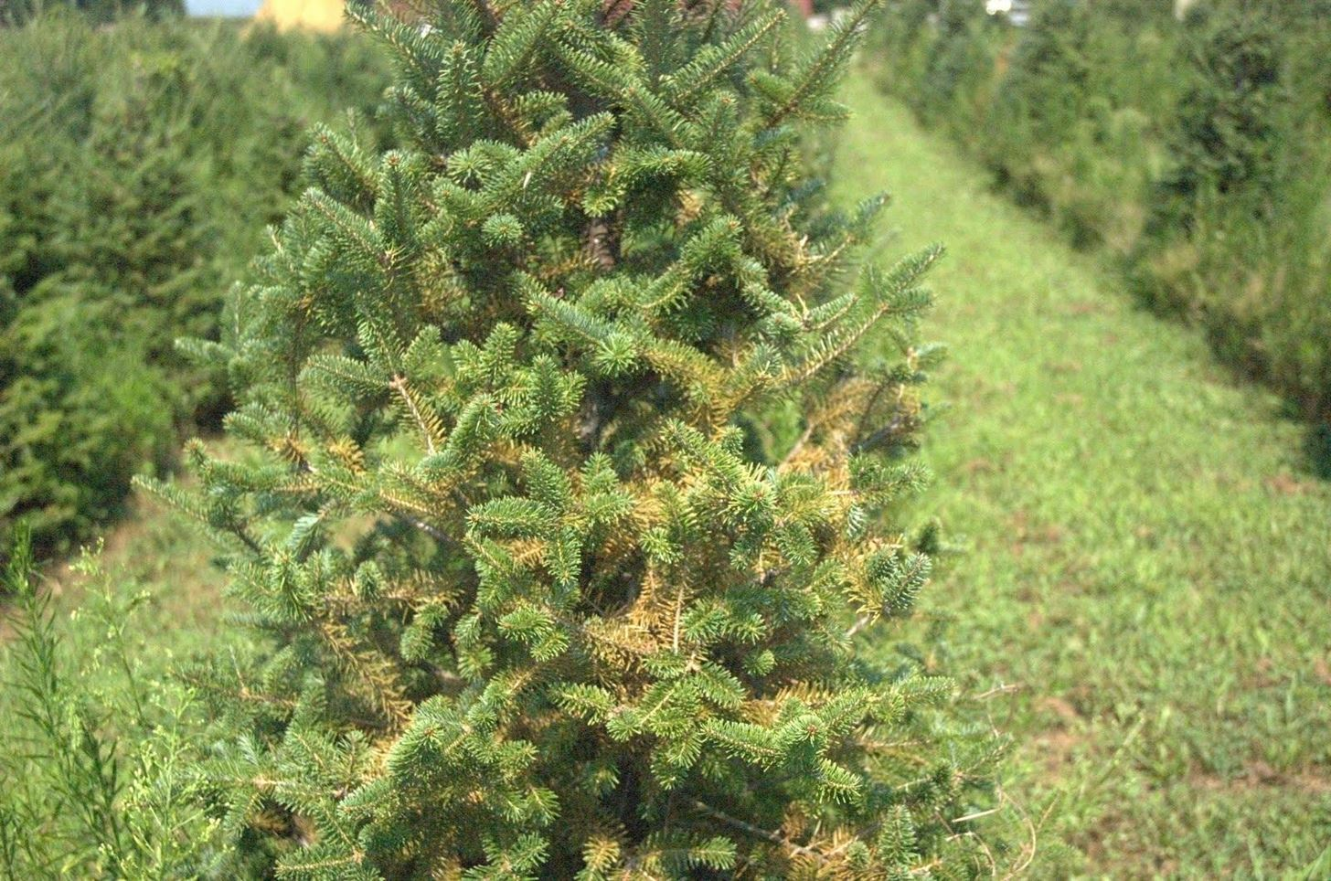 How to Get a $5 Christmas Tree (And How to Take Care of It)