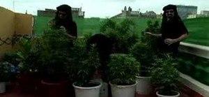 Judge Marijuana or Cannabis with Jorge Cervantes